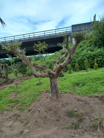 Encomende já a sua Oliveira! / Plantas / Árvores / Jardim
