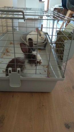 Sprzedam 2 króliki