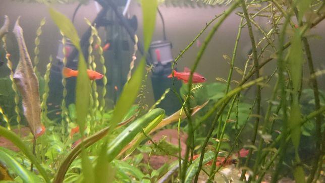 Рыбки барбус вишневый, пецилия, растения. Само