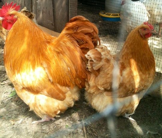 Инкубационное яйцо кур ( микс пород ).