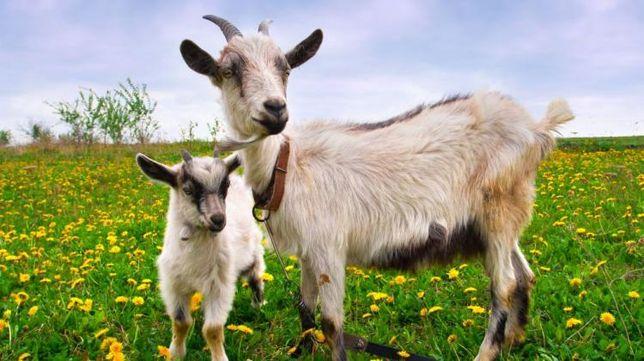 Świeże Mleko kozie