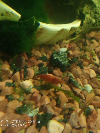 Аквариумные креветки Red Cherry