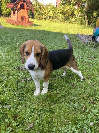 Beagle Bigiel 7 miesięcy