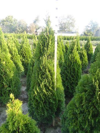 Tuja Szmaragd 180-210cm, krzewy ozdobne