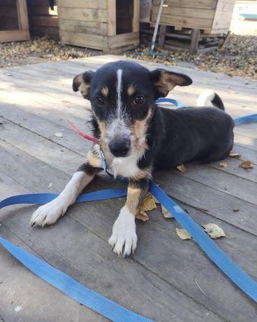 Собака Тоффи бесплатно 8 месяцев Киев щенок