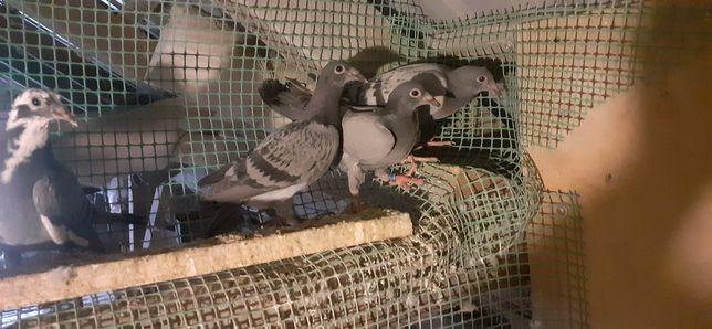 Gołębie,młode np dla dzieci