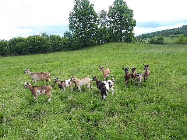 Mleko kozie - dziękujemy, zapraszamy ponownie w kwietniu.