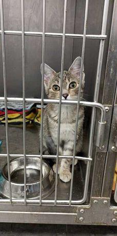 Kasztan proludzki, wszędobylski kociak kocię szuka domu! |MASZ NOSA