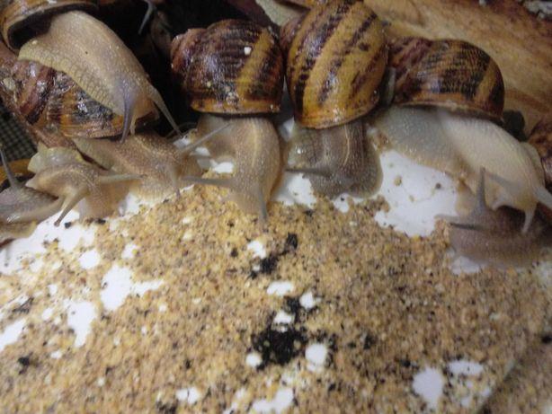 Hodowla ślimaków,Maxima, kokony, wylęg, oseski, reprodukcja