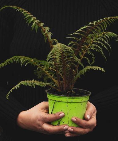 Paproć drzewiasta Cyathea Tomentossisima sadzonki