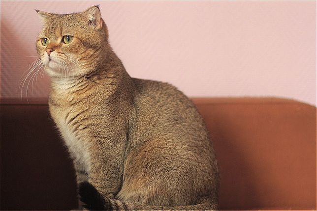 Шотландский кот, золотая шиншилла . Вязка.