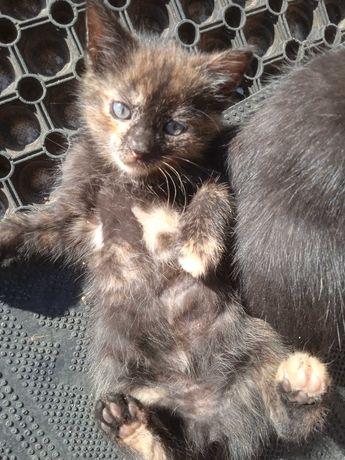 Czekoladowe kotki szukają nowego domu