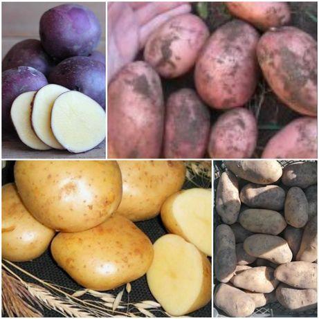 Картопля посадкова та крупна.
