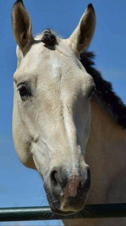 Vende-se cavalo kwpn de 6 anos