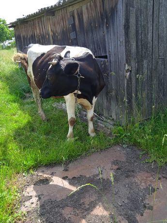Продам недорого корову
