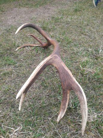 Poroże zrzuty jelenia