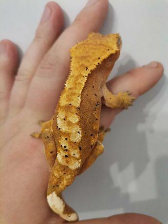 Gekon orzęsiony dwie samice ponad 20 gram