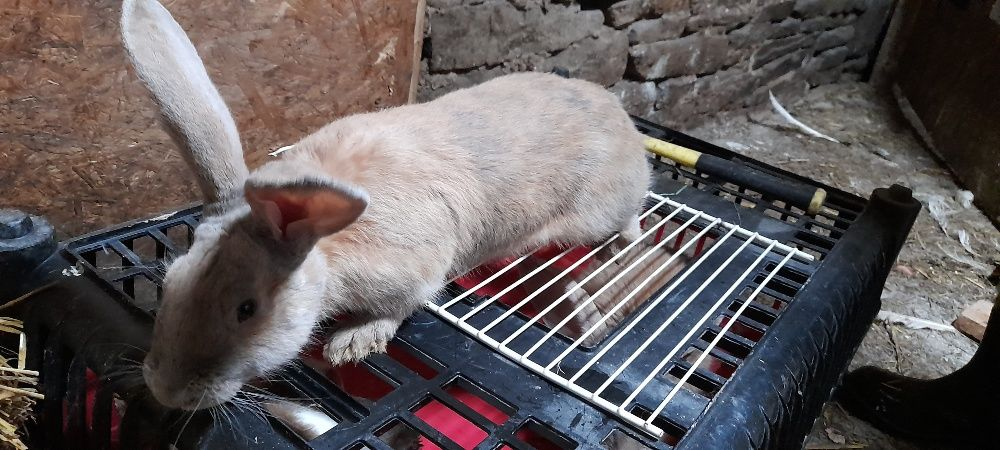 Sprzedam króliki Gruszowiec - image 1