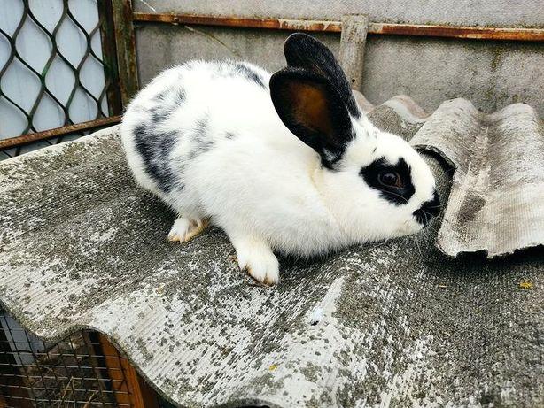 продам кролів простяків