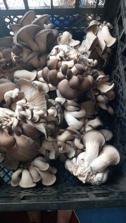 Продам грибы вешанки.  за 1кг 30грн.