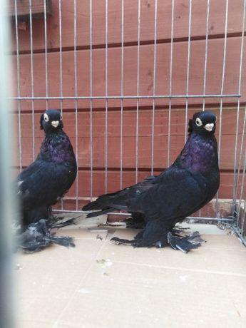 Gołębie ozdobne wywrotek mazurski czarny para 21r