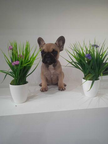 Bulldog francês com pedigree (LOP)
