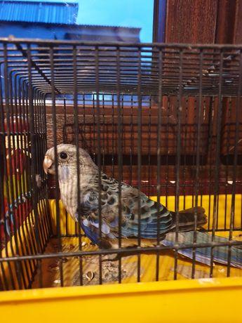 Papużka niebieska samczyk