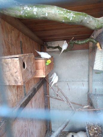 Papugi faliste parki