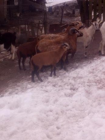 Owce młode kameruńskie