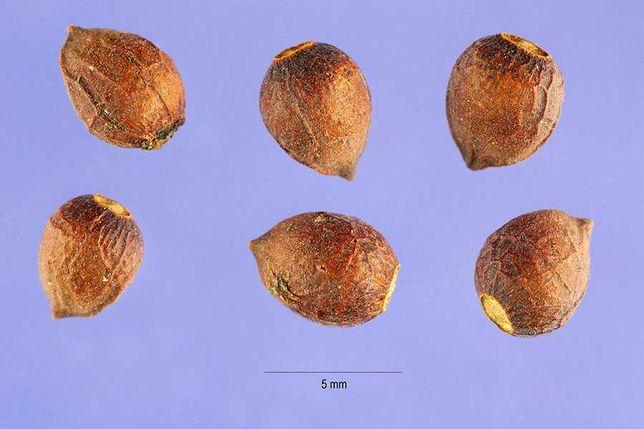 Sementes de teixo (taxus baccata)