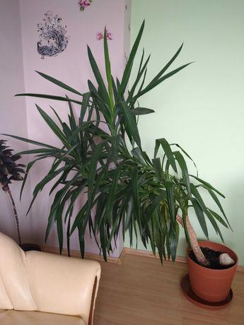 Kwiat doniczkowy- Juka bardzo dużych rozmiarów
