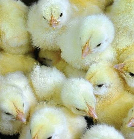 Утята Бройлер птица мулард цыплята куры индюшата биг6 комбикорм гуси