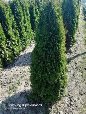 Thuja smaragd, tuja szmaragd wysokość od 60 - 180cm.w doniczce