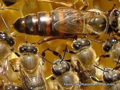 БджолоМатки