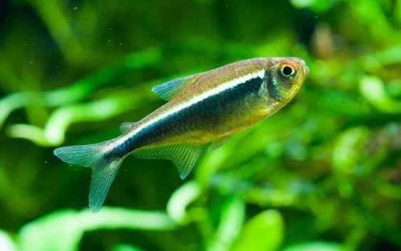 Bystrzyk axelroda-neon czarny