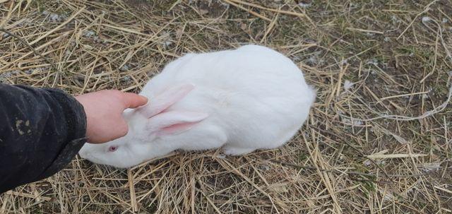 Krolik termondzki biały samiec 6 miesięczny
