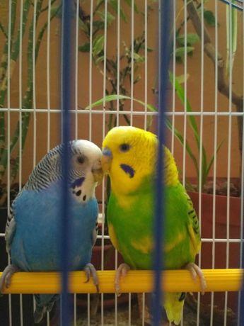 Пара попугаев с клеткой350новой