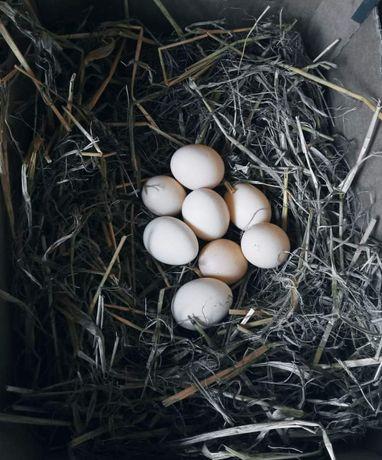 Jaja kurze przydomowa hodowla