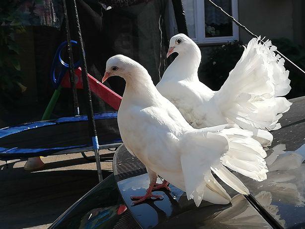 golebie pawiki biale