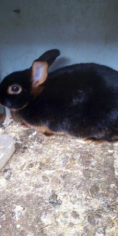 Кролики черно огненные самка