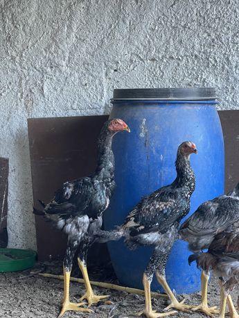 Indio gigantes frangos e frangas 5meses