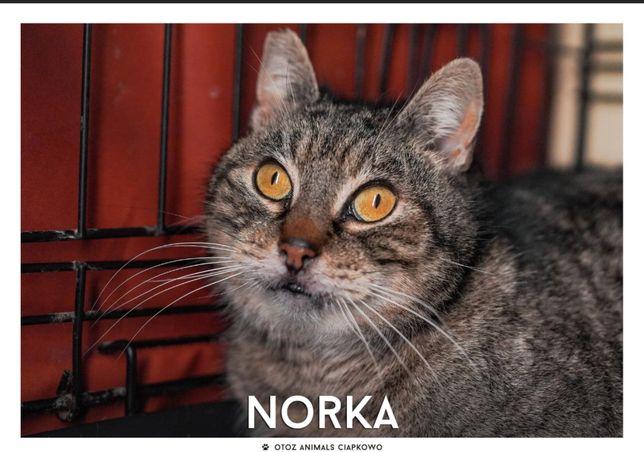 Znaleziona bura kotka-Noreczka jest gotowa do adopcji
