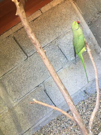Ring neck verde……………..