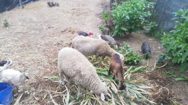 Vendo ovelha prenha