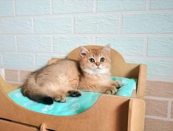 Sprzedam pięknego kota. Rasa brytyjska (BSH).