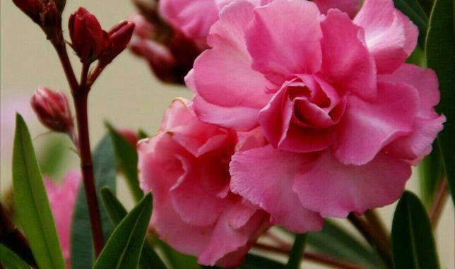 Олеандр розового цвета