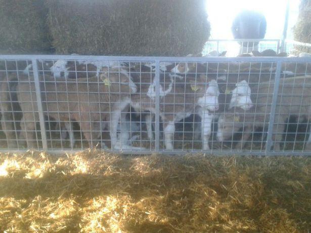 Byczki Cielęta Mięsne Simental Krzyżówki Charolais Piemontes Kolory