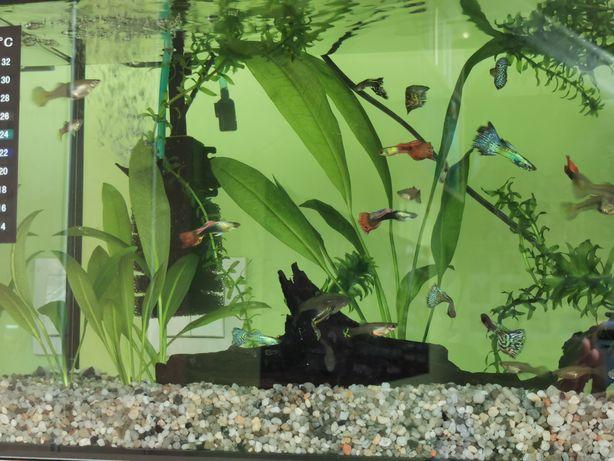 rybki pawie oczka - gupiki