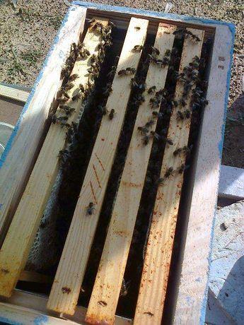 Enxames de abelhas (5 quadros) colmeia Lusitana