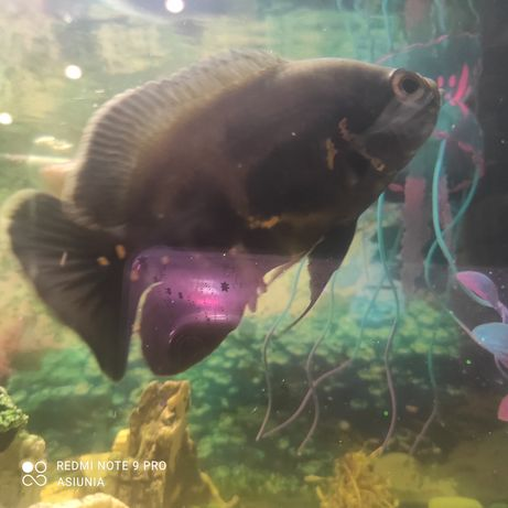 Oddam rybkę Oskar pawie oczko